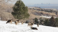 HD video mule deer herd in snow with downtown Denver video
