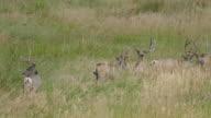 HD video Mule deer walk through Colorado grasslands and foothills video