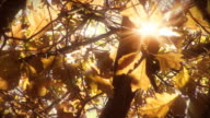 Video nature background - autumn leaves and sun beams LOOP video