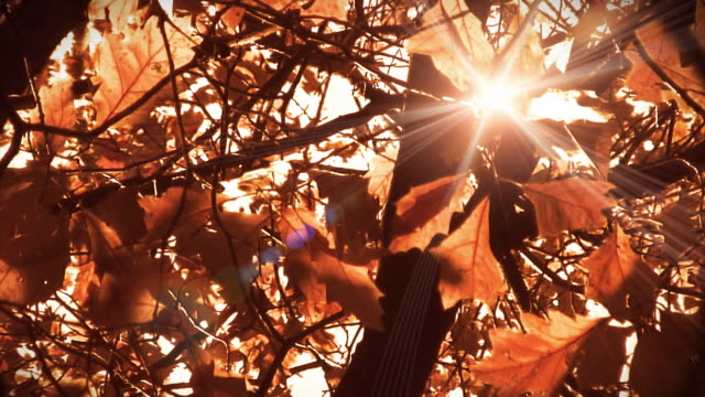Video nature background - autumn red leaves and sunbeams LOOP video