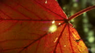 Video nature background  - sunshine and red autumn leaf  LOOP video