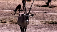 Video of an antelope in cinemagraph video