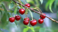 Video of cherry tree with fruits in 4K video