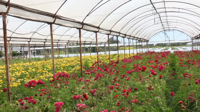 HD Video Of Cut Flower Bed In Greenhouse video