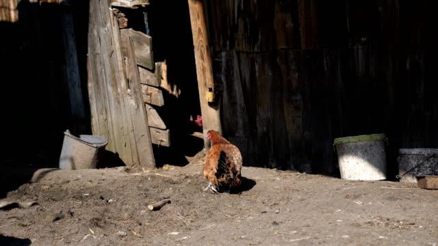 Video of free range chicken in 4k video