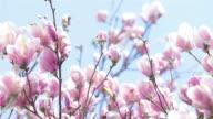 UHD 4K Video of Pink Magnolia Tree Flowers video