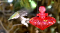 Video of real Humming Bird in slow motion video