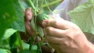 Video of senior man picking fresh cucumber-real slow motion video