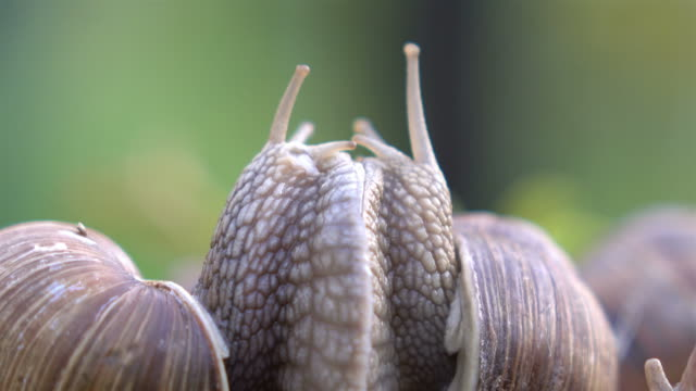 Video of snails couple in love in 4K video