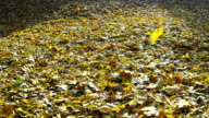 Video of the falling autumn leaf. video