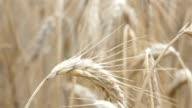 Video of wheat field in 4K-professional electronic slider video