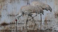 HD video Pair of Sandhill Cranes in Colorado wetlands video