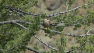 HD Video Peregrine Falcon in Yellowstone NP Wyoming video