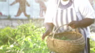 Video Portrait early morning African business woman harvests herbs video