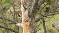 HD video red-headed woodpecker nest South Dakota video