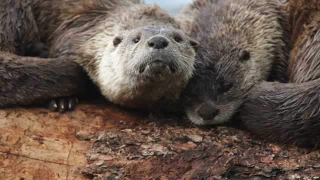 HD video river otter pair on log Yellowstone Wyoming video