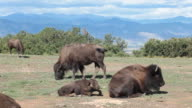 HD video Rocky Mountains and bison herd Colorado video