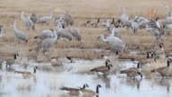 HD video Sandhill Cranes and geese in Colorado wetlands video