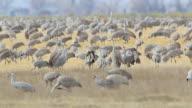 HD video Sandhill Cranes dance in Colorado fields video