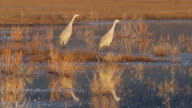 HD video Sandhill Cranes take off during Colorado sunrise video