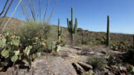HD video Sonoran desert cactus in Saguaro National Park video