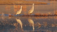 HD video sunrise on Sandhill Cranes reflection Colorado video