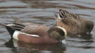 HD video wigeon ducks feed in Littleton Colorado wetlands video