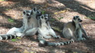 HD video Wild ring-tailed lemurs in Berenty Reserve Madagascar video