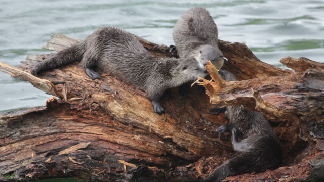 HD Video Wild river otters climb log Yellowstone NP Wyoming video