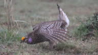 HD video Wild sharp-tailed grouse dances in Northern Colorado video