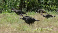 HD video Wild turkeys chase and eat grasshoppers Colorado video