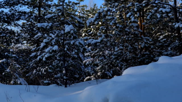 Videography winter forest from the window of a moving car or train. Сamera moves past the trees, shrubs, pine trees covered with snow, snow drifts. Sometimes the sun breaks through the trees. video
