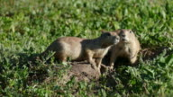 HD videoWild Denver Colorado black-tailed prairie dogs eating video