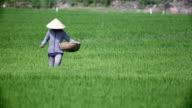 Vietnam farmers harvest rice video