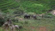 Vietnamese farmer children shepherds watching the bulls in rice fields of Sapa Mai Chau video