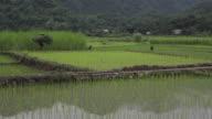 Vietnamese farmer man carrying harvest in rice fields of Sapa Mai Chau Vietnam video