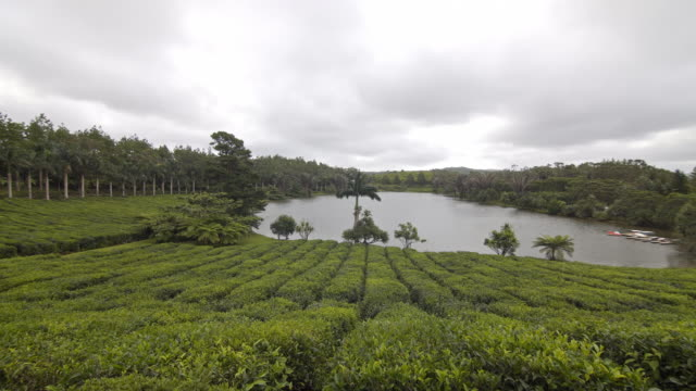 View at a tea plantation in a tropical environment video