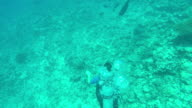 UNDERWATER: View from above of woman diving in pacific waters looking coral reef video