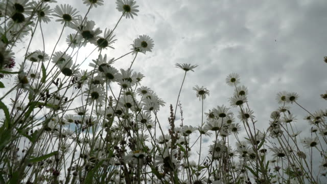 View from below on wild flowers chamomile before rain. Beautiful flowering summer meadow on a rainy summer day. Insects pollinate the wild flowers. Dolly shot. Concept of seasons, ecology, seasons, weather, purity, confrontation video