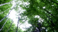 View from Ground of High Trees in Forest video