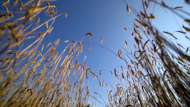 View from wheat field with many spikelets waving in the wind. Blue cloudy sky. video