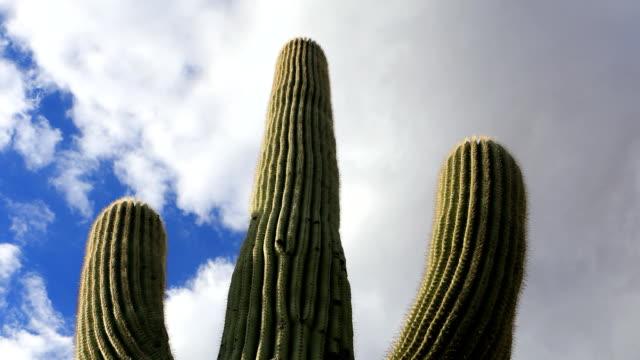 View looking up at large Saguaro Cactus video
