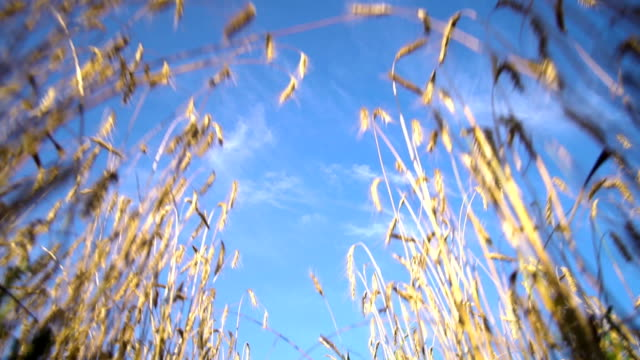 A view of a blue sky from a wheat field with ears. Blue sky. video