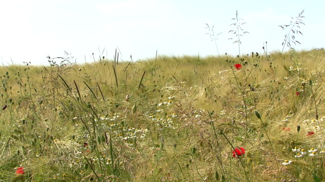 View of a cornfield, poppy and wildflowers in the sun video