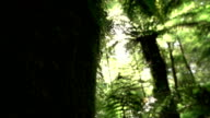 CLOSE UP: View of big old overgrown mossy lush tree trunk in beautiful forest video