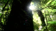 CLOSE UP: View of big overgrown mossy lush tree trunk in beautiful sunny forest video