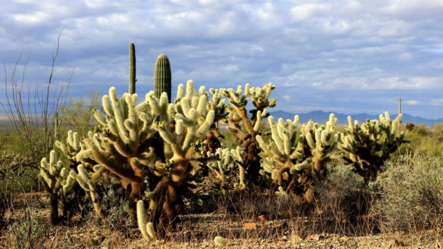 View of Cholla Cactus group in Tucson Mountain Park video