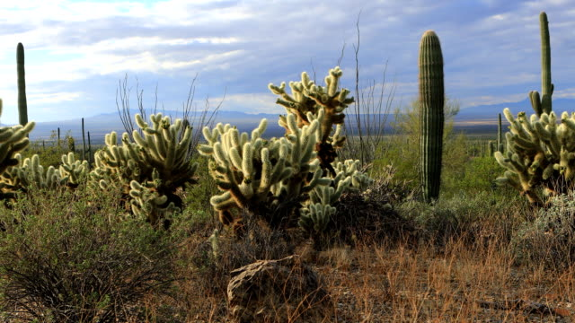 View of Cholla Cactus in Tucson Mountain Park video