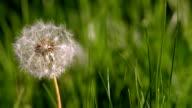 View of dandelion video