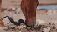 4K view of emaciated horse eating dung video